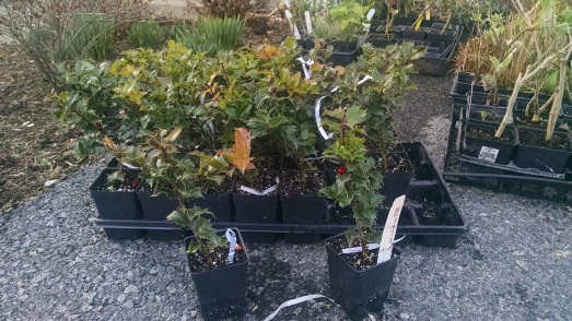 MV - Ilex c Red Beauty Actual 4-2-15