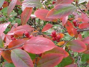 APP - MISC ARONIA arbutifolia 'Brilliantissima' 9-25-2015