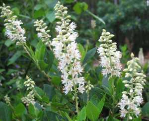 APP - MISC Clethra alnifolia 10-17-2015