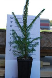 ENC - Norway Spruce 11-23-14