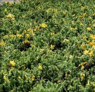 juniperus variegated juniper