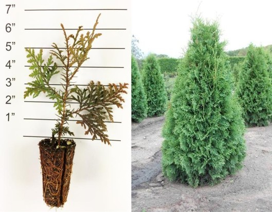 American Arborvitae Collage