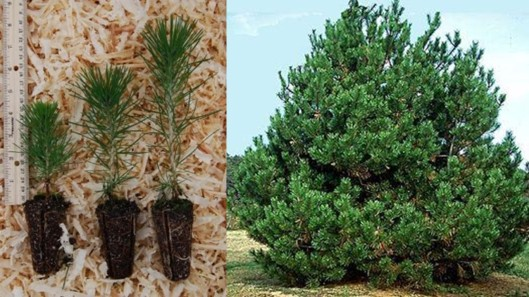Japanese Black Pine Collage.jpg