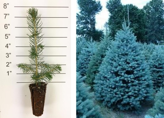 colorado blue spruce collage