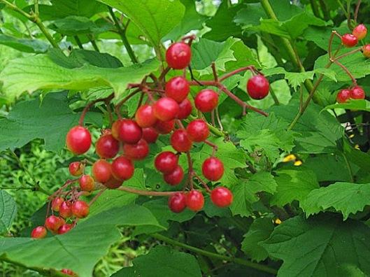 cranberry viburnum berries