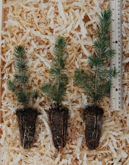 Norway Spruce Seedlings