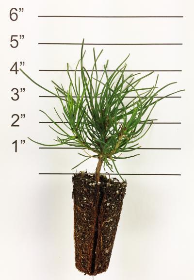 Mugo Pine GP