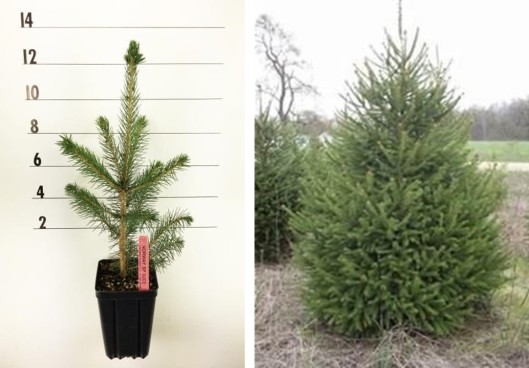 norway spruce collage