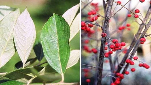 red chokeberry collage
