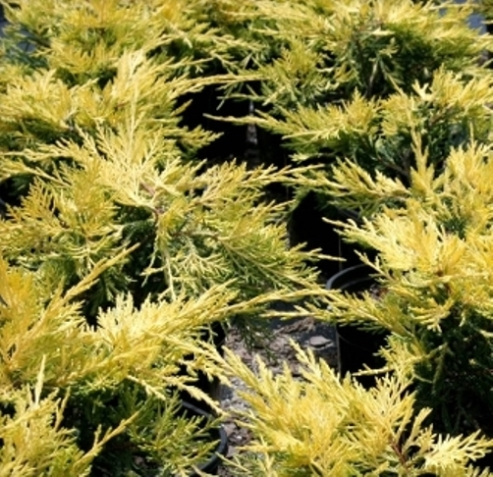 saybrook gold juniper