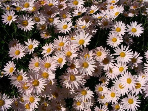 Chrysanthemum 'Sheffield Pink'