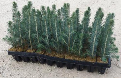 Colorado Spruce 18 03GP
